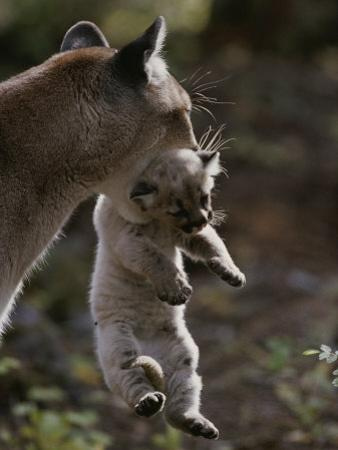 Mother Mountain Lion, Felis Concolor, Carries a Two-Week-Old Kitten