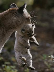 Mother Mountain Lion, Felis Concolor, Carries a Two-Week-Old Kitten by Jim And Jamie Dutcher