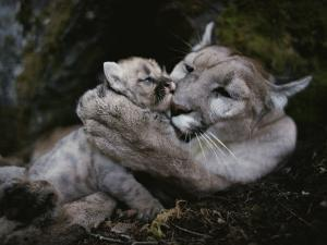 Mother Mountain Lion, Felis Concolor, Grooms a Two-Week-Old Kitten by Jim And Jamie Dutcher