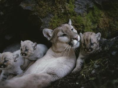 Mother Mountain Lion, Felis Concolor, Rests with her Two-Week-Olds