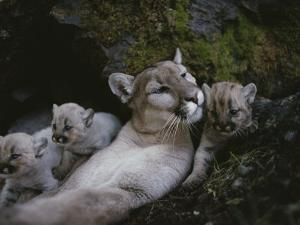 Mother Mountain Lion, Felis Concolor, Rests with her Two-Week-Olds by Jim And Jamie Dutcher