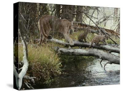 Mountain Lion and Kittens Cross a Creek on Logs