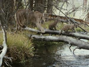 Mountain Lion and Kittens Cross a Creek on Logs by Jim And Jamie Dutcher