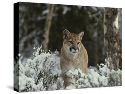 Mountain Lion in a Snowy Landscape