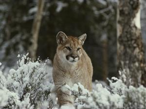Mountain Lion in a Snowy Landscape by Jim And Jamie Dutcher