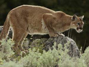 Mountain Lion Watches its Territory from a Rock by Jim And Jamie Dutcher