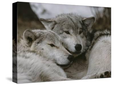 Napping Gray Wolves