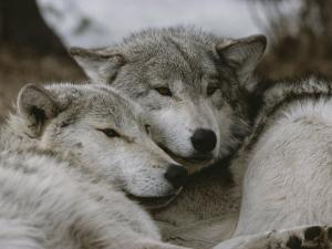 Napping Gray Wolves by Jim And Jamie Dutcher