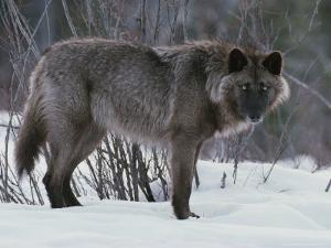 Nice Portrait of a Dark-Colored Gray Wolf, Canis Lupus by Jim And Jamie Dutcher