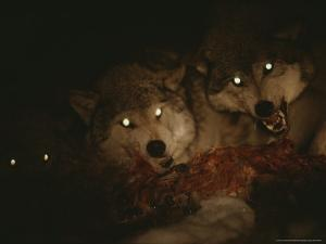 Pack of Gray Wolves, Canis Lupus, Feast on a Deer Carcass at Night by Jim And Jamie Dutcher