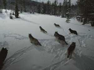 Pack of Gray Wolves, Canis Lupus, Gather to Get Ready For a Hunt by Jim And Jamie Dutcher