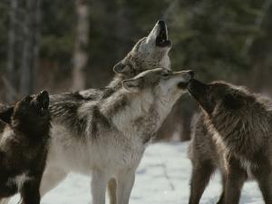 Pack of Gray Wolves, Canis Lupus, Howl by Jim And Jamie Dutcher
