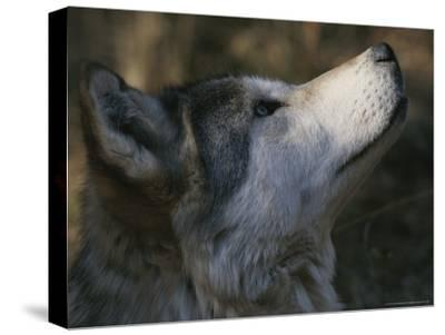 Portrait in Profile of a Gray Wolf, Canis Lupus