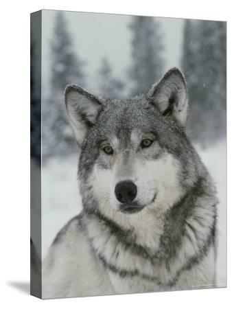 Portrait of a Beautiful Gray Wolf, Canis Lupus, in the Snow