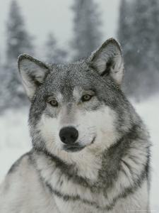 Portrait of a Beautiful Gray Wolf, Canis Lupus, in the Snow by Jim And Jamie Dutcher