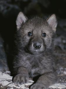 Portrait of a Four-Seek-Old Gray Wolf Pup, Canis Lupus, in It's Den by Jim And Jamie Dutcher