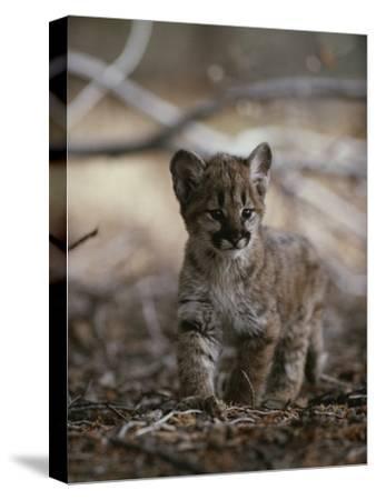 Portrait of an Eight-Week-Old Mountain Lion Kitten