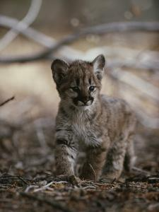 Portrait of an Eight-Week-Old Mountain Lion Kitten by Jim And Jamie Dutcher