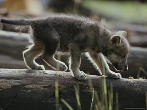 Six-Week-Old Gray Wolf Pup, Canis Lupus, Walks on a Fallen Log by Jim And Jamie Dutcher