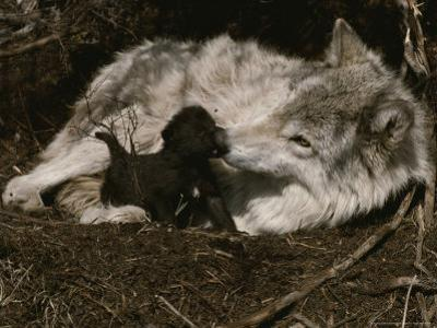 Ten-Day-Old Gray Wolf Pup, Canis Lupus, Nuzzles It's Sitter's Nose by Jim And Jamie Dutcher