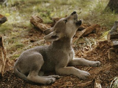 Ten-Week-Old Gray Wolf Pup, Canis Lupus, Howls