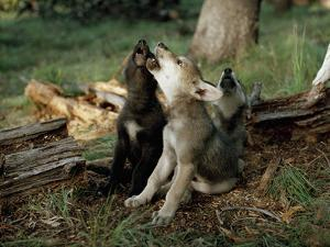 Three Young Male Gray Wolf Pups Howl by Jim And Jamie Dutcher