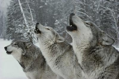 Trio of Gray Wolves, Canis Lupus, Howl in Unison by Jim And Jamie Dutcher