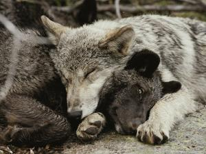Two Five-Month-Old Gray Wolf, Canis Lupus, Pups Nap Together by Jim And Jamie Dutcher