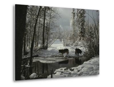 Two Gray Wolves, Canis Lupus, Stop at a Creek in a Snowy Forest