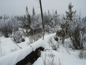 Two Gray Wolves, Canis Lupus, Survey a Wintry Landscape by Jim And Jamie Dutcher