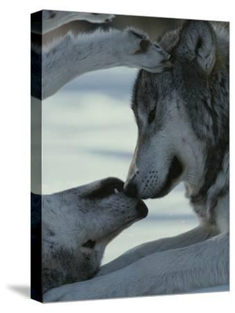 Two Gray Wolves, Canis Lupus, Touch Noses During a Tender Moment