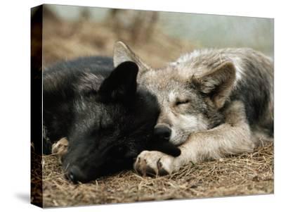 Two Sleeping Gray Wolf Pups