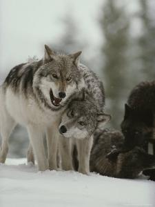 Winter Portrait of a Couple of Gray Wolves, Canis Lupus by Jim And Jamie Dutcher