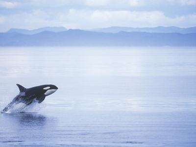 Killer Whale Breaching, British Columbia, Canada. by Jim Borrowman