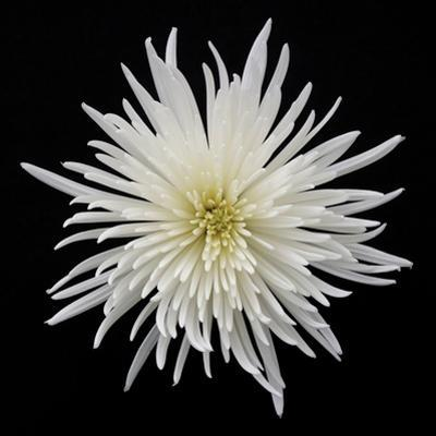 Chrysanthemum I by Jim Christensen