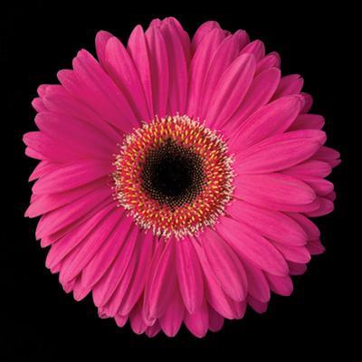 Gerbera Daisy Pink by Jim Christensen