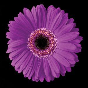 Gerbera Daisy Purple by Jim Christensen