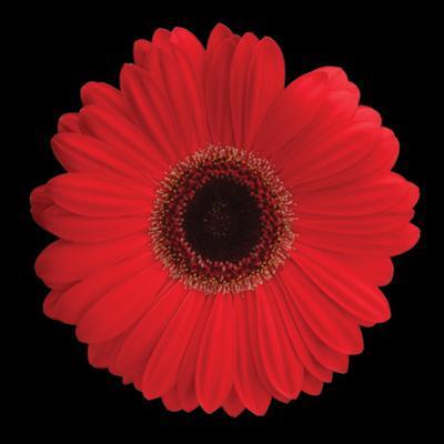 Gerbera Daisy Red by Jim Christensen