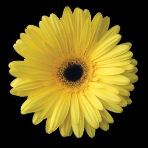 Gerbera Daisy Yellow by Jim Christensen