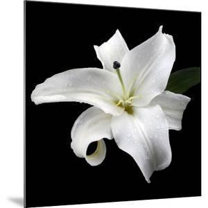 Lily on Black I by Jim Christensen
