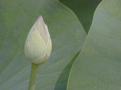 Lotus Detail VII by Jim Christensen