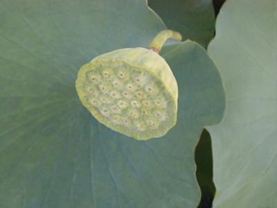 Lotus Detail VIII by Jim Christensen