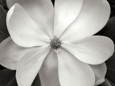 Magnolia I by Jim Christensen