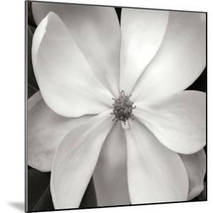 Magnolia III by Jim Christensen