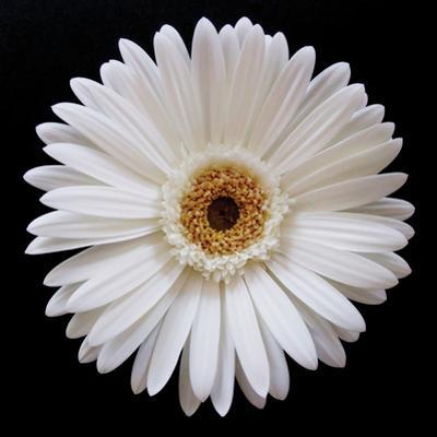 White Gerber Daisy by Jim Christensen