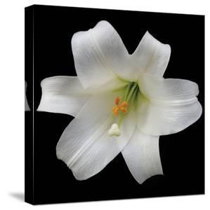 White Lily by Jim Christensen