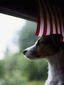 Jack Russell Terrier Near Window with American Flag by Jim Corwin