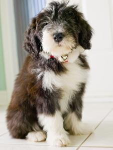 Bearded Collie Puppy by Jim Craigmyle
