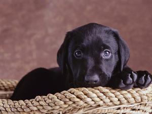 Black Lab Puppy in Basket by Jim Craigmyle