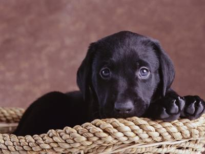 Black Lab Puppy in Basket